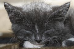 Sleeping Grey Kitten Stock Photography