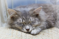 Sleeping grey striped kitten Stock Image