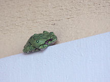 Sleeping Grey Tree Frog Stock Photography