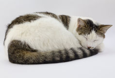 Sleeping grey and white cat Stock Images