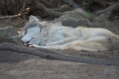 Sleeping Grey wolf pup. A sleeping grey wolf pup...  taking a break from romping with his siblings Stock Image