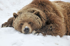 Sleeping grizzly bear. In winter day Stock Photos