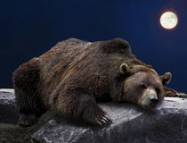 Sleeping grizzly bear. Grizzly brown bear sleeping on rock during full moon night stock image