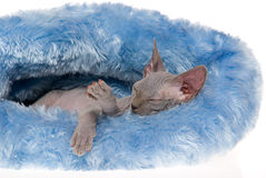 Sleeping hairless Sphynx in blue bed Royalty Free Stock Photography