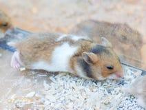 Sleeping Hamster. Stock Photography