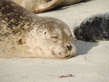 Sleeping Happy Seal Royalty Free Stock Photo