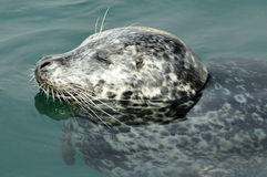 Sleeping Harbor Seal Royalty Free Stock Photo