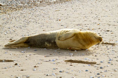 Sleeping Harbor seal Royalty Free Stock Image