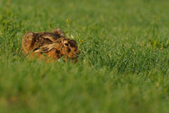 Sleeping Hare Stock Photography