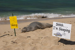 Sleeping Hawaiian Monk Seal Stock Images