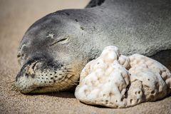 Sleeping Hawaiian monk seal on the beach stock image