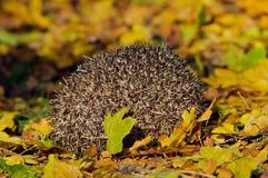 Sleeping Hedgehog Stock Photo