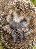 Sleeping Hedgehog Baby close up Stock Photo