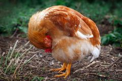 Chicken hiding her head in the plumage stock photos