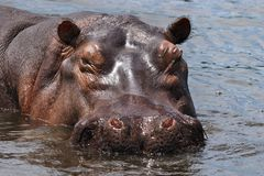 Sleeping hippo. Wild hippo on the Nile Royalty Free Stock Photos