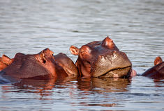 Sleeping hippo. In liwonde national park malawi Royalty Free Stock Photo