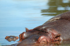 Sleeping hippo and baby Stock Photography