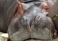 Free Sleeping Hippo Front Profile Royalty Free Stock Image - 2742906