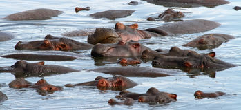 Sleeping Hippo Pile. A pile of sleeping hippopotamuses in the water royalty free stock photo