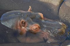 A sleeping hippo in the sun in the zoo Wildlands Emmen. Clear view of the head through the clear water royalty free stock photography
