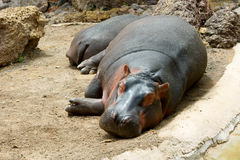 Sleeping hippopotamus Royalty Free Stock Image