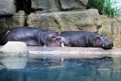 Sleeping hippos on the concrete bank of the artificial pond. Saturated and satisfied fat animals near the water with floating algae. In the background are royalty free stock images