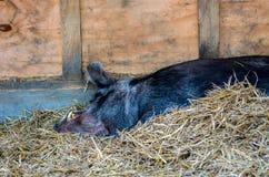 Sleeping Hog. A Hog sleeps on some hay Royalty Free Stock Image