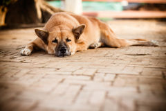 Sleeping Homeless Lonely Street Dog. On the footpath Stock Photo
