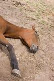 Sleeping horse. Close up to sleeping horse Royalty Free Stock Photos