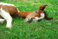 Free Sleeping Horse Stock Photography - 9482052