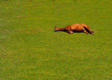 Sleeping Horse. Image Of a pregnant Horse Lying down in the grass Royalty Free Stock Image