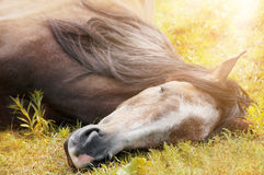 Sleeping horse on autumn grass in sunlight Stock Images