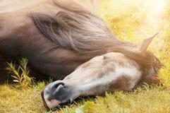 Sleeping horse on autumn grass in sunlight Stock Images