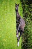 Sleeping horse Royalty Free Stock Photos