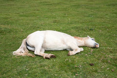 Sleeping Horse Royalty Free Stock Image