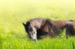Sleeping horse on summer pasture Stock Images