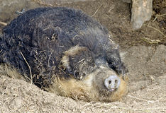 Sleeping hungarian woolly pig, Royalty Free Stock Images