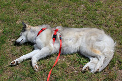 Sleeping husky dog. On grass background Stock Photo