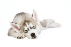 Sleeping husky puppy Royalty Free Stock Image