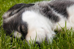 Sleeping Husky Puppy Royalty Free Stock Photography