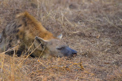 Sleeping hyena adult in the wild 2 Stock Photography