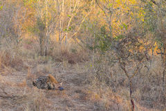 Sleeping hyena adult in the wild 1 Stock Photography