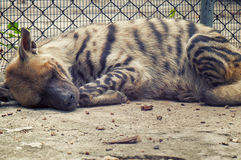 Sleeping hyena Royalty Free Stock Images