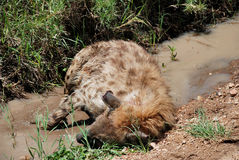 Sleeping hyena Stock Images
