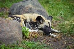 Sleeping hyena Royalty Free Stock Photography