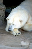 Sleeping Ice Bear Stock Photo