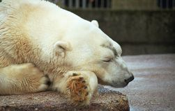 Sleeping polar bear stock photos
