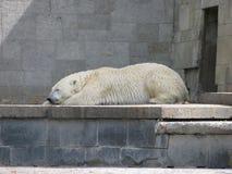 Sleeping Ice Bear stock images