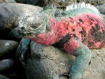 Sleeping iguana Stock Images