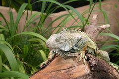 Sleeping Iguana. On a tree trunk at a wildlife sanctuary Stock Photo